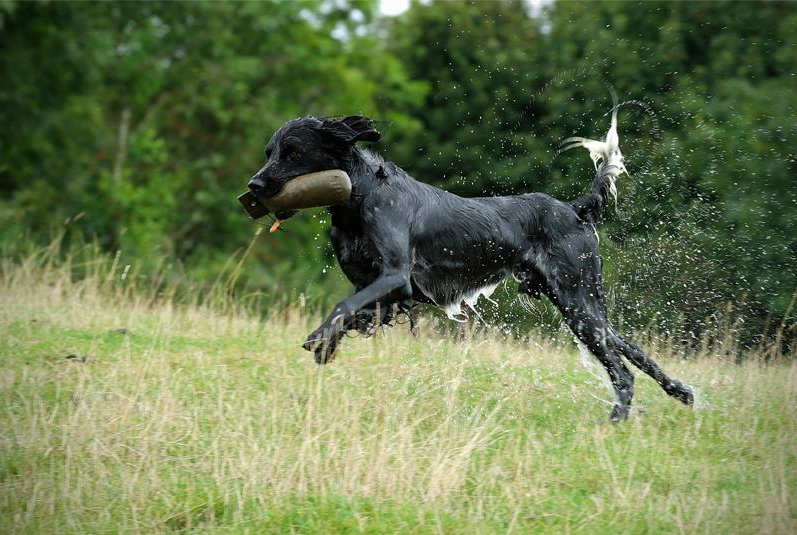 Photo by Sharon Newman Dill doing his blind retrieve in his own way.